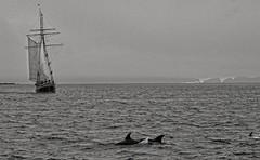 Tursiops truncatus (AlexandreRoux01) Tags: ocean new sea wild mer mammal island bay marine dolphin marin grand zealand dauphin flipper mammifre bottlenose sauvage ocan cetacean tursiops truncatus ctac