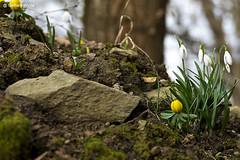 Schneeglöckchen... (GerWi) Tags: frühlingsblumen krokus schneeglöckchen winterlinge