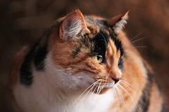 Gatto (berry9324) Tags: miao micio gatto pet cat mew felino animale nature animals