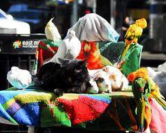 Harmony! -0049-March 17, 2017 (Scott Yeckes) Tags: animals birds cats friends nyc newyork animalstill cute hamsters harmony love manhattan onlyinnewyork peace strangebuttrue unique unusual