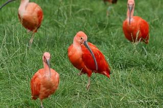Eudocimus ruber   ofte Rode Ibis