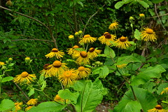 Inula magnifica (МирославСтаменов) Tags: russia lazarevskoye sochi inula flower blooming plant herb mountain forest margin summer greenery