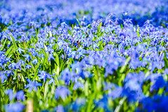 """Day 85/365 - """"Aroma"""" (Little_squirrel) Tags: 365the2017edition 3652017 day85365 26mar17 flowers flower spring green blue blueandgreen nature scent scentofspring aroma awakening"""