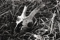Animal skull (Sareni) Tags: sareni serbia srbija vojvodina banat juznibanat alibunar utrina livada field skullanimalskull kosti light svetlost bw blackandwhite crnobela grass trava spring prolece march 2017 twop