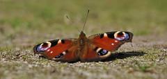 harbinger of spring (gelein.zaamslag) Tags: nature spring fauna vlinder vlinders dagpauwoog butterfly butterflies geleinjansen