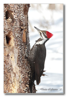 103A8421-DL   Grand pic (femelle) / Pileated Woodpecker (female).