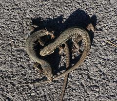 heart of lizards-91215el (Bazar del Bizzarro) Tags: heart lizard lizards valentine love evil lucertola lucertole reptile reptiles rettile rettili