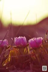 fiori di mare (fabrizioaddabbo) Tags: macchiamediterranea litoranea salento