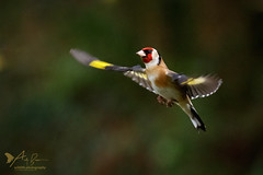 Goldfinch in flight 1 (ABPhotosUK) Tags: animals birds canon cardueliscarduelis dartmoor devon ef100400mmisii eos7dmarkii finches fringillidae garden goldfinch inflight seasons wildlife winter