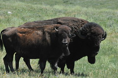 DSC_2636 (EverydayMiracles) Tags: bison custer national park
