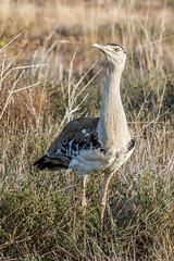 Australian Bustard (Timothy D.) Tags: animals australia birds flindersrivercampspot location mountisa qeensland route australian bustard