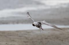 """Fairy Tern doing the """"Tern Twist"""" (Mykel46) Tags: goolwasouth southaustralia australia au fairy tern sternula nereis laridae bif birds nature flight fish canon outdoor outside fun natur"""