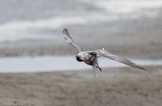 Fairy Tern doing the
