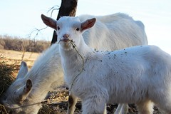 Yoda (female) (Brandi Bonde) Tags: smallfarm goats babygoats babyanimal babyfarmanimal caprine meatgoats harmonyfarm hay forage feed boer kiko dairy horns