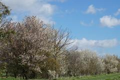 Spring (Neil Pulling) Tags: biggleswade uk england bedfordshire spring blossom landscape tree hedges