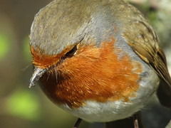 IMG_This little Robin was following me for ages, keen to have him photo taken.2016 (stevencarruthers93) Tags: greenheart wigan wiganflashes nature wildlife photography outdoors spring