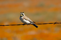 Horned Lark (Norman Graf) Tags: animal aves bird california californiapoppyreserve eremophilaalpestris hornedlark