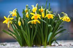 Narzissen (maxgrosser) Tags: sony a6000 minolta 50mm af yellow gelb blume flower spring frühling