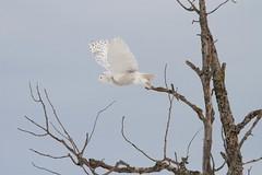 Snowy Lift Off (McGill's Nature in Motion) Tags: snowyowl owl raptor predator bird nature wildlife michigan mcgillsnatureinmotion teresamcgill winter snow