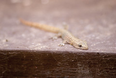 Common House Gecko (Linxie) Tags: nkon d80