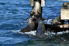 Sparring seals (Roving I) Tags: india playing nature animals wildlife australia victoria queenscliff colonies chinamanshat furseals