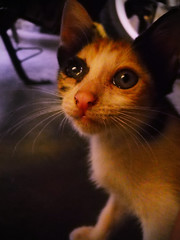 Poor Raisu (AbdillahAbi) Tags: cats cat nikon calico pointandshoot anak kucing