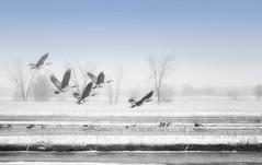Envol Onirique (Renald Bourque) Tags: canada canon landscape geese quebec wildlife goose paysage sauvage saintbarthelemy onirique