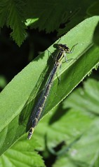 Leighton Moss RSPB (Man with Red Eyes) Tags: naturereserve damselfly d3 rspb leightonmoss nikond3 70210f4d