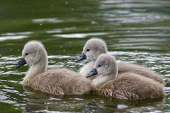 Cygnet Trio (Rivertay07 more off than off) Tags: swan rivertay cygnets leavalley leevalley cygnusolor copyrightprotected fishersgreen richardstead