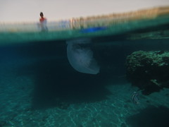 Jelly Approach (Niall Deiraniya Underwater Photography) Tags: red sea fish coral dangerous marine ray seahorse turtle crab shrimp sealife perch octopus mandarin nudibranch anenome manta moray grouper venom pygmy pipefish reasea