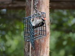 downywoodpecker wbs worldbirdsanctuary