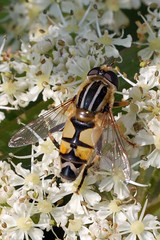 Hoverfly- Helophilus trivittatus (linanjohn) Tags: uk macro nature wildlife insects cumbria flies hoverfly syrphidae diptera helophilustrivittatus eristalini