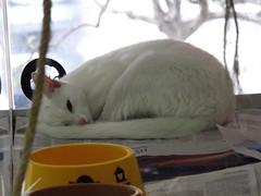 Dengo (L. Christe) Tags: cat gato whitecat gatobranco