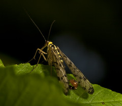 "Male Scorpion Fly • <a style=""font-size:0.8em;"" href=""http://www.flickr.com/photos/57024565@N00/9239975593/"" target=""_blank"">View on Flickr</a>"