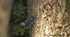 White Breasted Nuthatch (paramaniac10) Tags: summer nature birds landscape outdoors dragonflies wildlife butterflies toads insects bugs frogs amphibians raptors damselflies lizzards