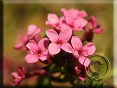 Daphne cneorum (Fotografa de Naturaleza de Paco Moreno Gmez) Tags: fauna flora flor pirineo morada thymelaeaceae