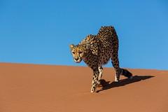20130616_Namibia_Kiki_at_Dunes_0153.jpg (Bill Popik) Tags: africa kiki mammals namibia cheetahs 2places 3animals africancats