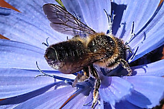 """""""HOW DOTH THE LITTLE BUSY BEE IMPROVE EACH SHINING HOUR."""" (spikeswurda) Tags: macro insect olympus bee ep3"""