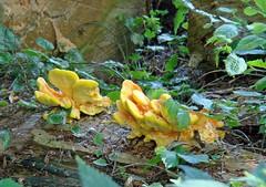 zwammen / fungi (dietmut) Tags: mushrooms rotterdam nederland thenetherlands fungi sonycybershot zuidholland hoogvliet zwammen 2013 zalmplaat sonydsct200 augustusaugust dietmut yourfavorites77