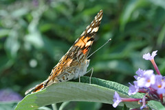 Painted Lady (pauldbrown) Tags: closeup butterfly island buddleia isleofwight wight paintedlady iow