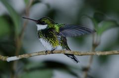 Beija-flor-de-papo-branco (White-throated Hummingbird) (Jonatan Vitor Lemos) Tags: nature hummingbird whitethroated albicollis leucochloris beijaflordepapobranco