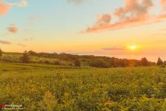 Positive Vibes (Masahiko Futami) Tags: sky cloud tree green nature field japan forest sunrise canon landscape asia photographer 日本 木 雲 自然 空 緑 風景 teaplantation 畑 日の出 森 朝日 茶畑 eos5dmarkiii