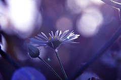 Marguerite (Manon.v_photographie) Tags: flowers plant macro nature fleurs plante petals purple outdoor violet marguerite extérieur luminous lumineux pétales floralfantasy perfectpetals awesomeblossoms unforgettableflowers nikond5000