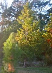 Metasequoia & longleaf pines (pam_chesbay) Tags: metasequoia dawnredwood longleafpines