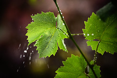 vine (Steffen Walther) Tags: color green vine jena 100 20 vital steffenwalther
