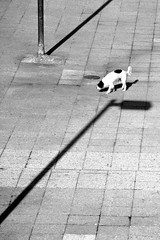 (hugo__ j) Tags: street light shadow urban bw dog chien white black contrast noir streetphotography nb ombre blanc urbain