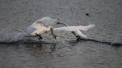 Strike One (happymillerman) Tags: swans splash fighting