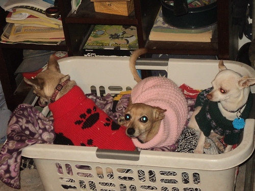 My three chihuahuas