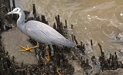White Faced Heron (Egretta novaehollandiae), Brisbane tidal mudflats (mangroves), Australia (trebandicoot (Lynn)) Tags: white heron flickr australia brisbane faced mangroves mudflats tidal egretta novaehollandiae blinkagain bestofblinkwinners blinksuperstars bestofsuperstars blink4gallery