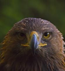 Golden Eagle Stare (ORIONSM) Tags: portrait bird golden eagle raptor stare prey sigma150500 pentaxk5
